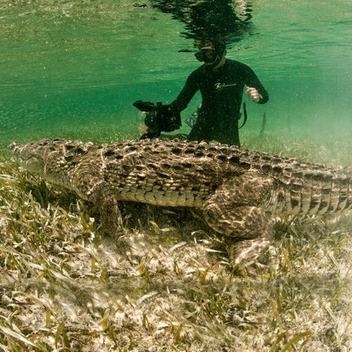 Encuentro con el Cocodrilo Americano en las Cristalinas Aguas de los Arrecifes B