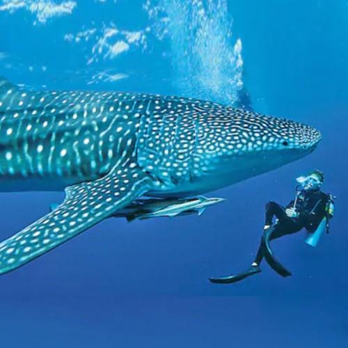 Conoce a el Majestuoso Tiburón Ballena Nadando en las Aguas del Caribe Mexicano